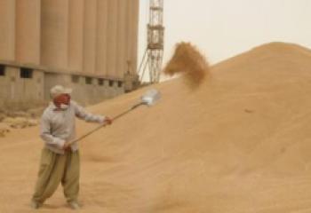 صومعتا الناصرية والرفاعي يباشران باستلام محصولي الحنطة والشعير