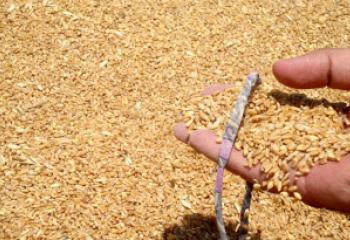 تجهيز ذي قار بـ 25 الف طن من الحبوب لتامين الوجبة الثامنة من طحين التموينية