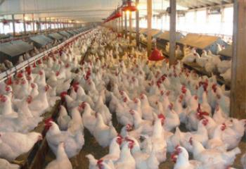 المستشفى البيطري في ذي قار يطلق حملة تحري ضد انفلونزا الطيور