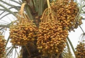 الزراعة تعرض معمل كبس التمور في الناصرية للاستثمار